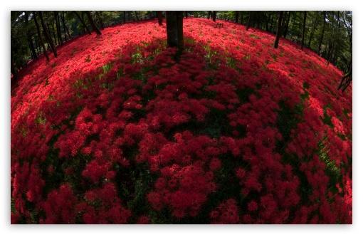Red Spider Lilies Blooming By Trees ❤ 4K UHD Wallpaper for Wide 16:10 5:3 Widescreen WHXGA WQXGA WUXGA WXGA WGA ; UltraWide 21:9 24:10 ; 4K UHD 16:9 Ultra High Definition 2160p 1440p 1080p 900p 720p ; UHD 16:9 2160p 1440p 1080p 900p 720p ; Standard 4:3 5:4 3:2 Fullscreen UXGA XGA SVGA QSXGA SXGA DVGA HVGA HQVGA ( Apple PowerBook G4 iPhone 4 3G 3GS iPod Touch ) ; Smartphone 16:9 3:2 5:3 2160p 1440p 1080p 900p 720p DVGA HVGA HQVGA ( Apple PowerBook G4 iPhone 4 3G 3GS iPod Touch ) WGA ; Tablet 1:1 ; iPad 1/2/Mini ; Mobile 4:3 5:3 3:2 16:9 5:4 - UXGA XGA SVGA WGA DVGA HVGA HQVGA ( Apple PowerBook G4 iPhone 4 3G 3GS iPod Touch ) 2160p 1440p 1080p 900p 720p QSXGA SXGA ; Dual 16:10 5:3 16:9 4:3 5:4 3:2 WHXGA WQXGA WUXGA WXGA WGA 2160p 1440p 1080p 900p 720p UXGA XGA SVGA QSXGA SXGA DVGA HVGA HQVGA ( Apple PowerBook G4 iPhone 4 3G 3GS iPod Touch ) ; Triple 16:10 5:3 16:9 4:3 5:4 3:2 WHXGA WQXGA WUXGA WXGA WGA 2160p 1440p 1080p 900p 720p UXGA XGA SVGA QSXGA SXGA DVGA HVGA HQVGA ( Apple PowerBook G4 iPhone 4 3G 3GS iPod Touch ) ;