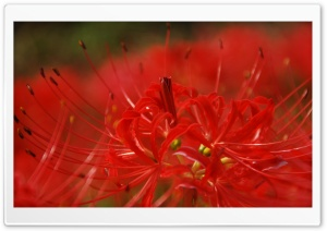 Red Spider Lily HD Wide Wallpaper for Widescreen