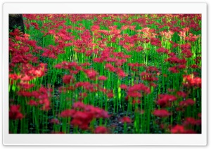 Red Spider Lily Field HD Wide Wallpaper for Widescreen