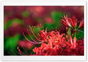 Red Spider Lily, Japan HD Wide Wallpaper for Widescreen