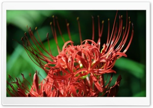 Red Spider Lily, Lycoris Radiata HD Wide Wallpaper for Widescreen