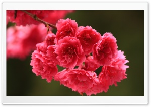 Red Spring Flowers HD Wide Wallpaper for Widescreen