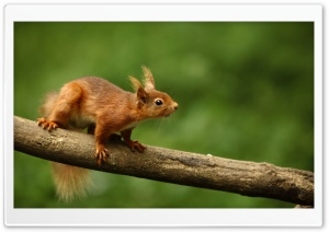 Red Squirrel HD Wide Wallpaper for Widescreen