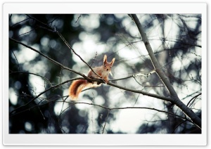 Red Squirrel In Tree HD Wide Wallpaper for Widescreen