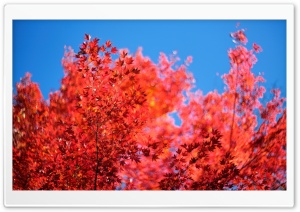 Red Tree HD Wide Wallpaper for Widescreen