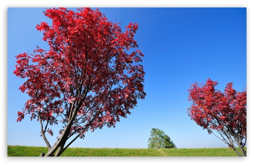 Red Trees HD wallpaper for Wide 16:10 5:3 Widescreen WHXGA WQXGA WUXGA WXGA WGA ; HD 16:9 High Definition WQHD QWXGA 1080p 900p 720p QHD nHD ; Standard 4:3 5:4 3:2 Fullscreen UXGA XGA SVGA QSXGA SXGA DVGA HVGA HQVGA devices ( Apple PowerBook G4 iPhone 4 3G 3GS iPod Touch ) ; iPad 1/2/Mini ; Mobile 4:3 5:3 3:2 16:9 5:4 - UXGA XGA SVGA WGA DVGA HVGA HQVGA devices ( Apple PowerBook G4 iPhone 4 3G 3GS iPod Touch ) WQHD QWXGA 1080p 900p 720p QHD nHD QSXGA SXGA ;