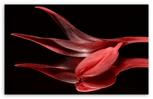 Red Tulip HD wallpaper for Wide 16:10 5:3 Widescreen WHXGA WQXGA WUXGA WXGA WGA ; HD 16:9 High Definition WQHD QWXGA 1080p 900p 720p QHD nHD ; UHD 16:9 WQHD QWXGA 1080p 900p 720p QHD nHD ; Standard 4:3 5:4 3:2 Fullscreen UXGA XGA SVGA QSXGA SXGA DVGA HVGA HQVGA devices ( Apple PowerBook G4 iPhone 4 3G 3GS iPod Touch ) ; Smartphone 5:3 WGA ; Tablet 1:1 ; iPad 1/2/Mini ; Mobile 4:3 5:3 3:2 16:9 5:4 - UXGA XGA SVGA WGA DVGA HVGA HQVGA devices ( Apple PowerBook G4 iPhone 4 3G 3GS iPod Touch ) WQHD QWXGA 1080p 900p 720p QHD nHD QSXGA SXGA ; Dual 4:3 5:4 UXGA XGA SVGA QSXGA SXGA ;