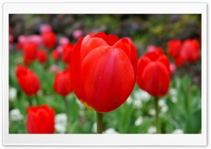 Red Tulip Ultra HD Wallpaper for 4K UHD Widescreen desktop, tablet & smartphone