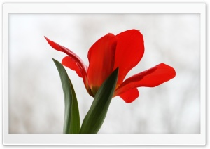 Red Tulip HD Wide Wallpaper for Widescreen