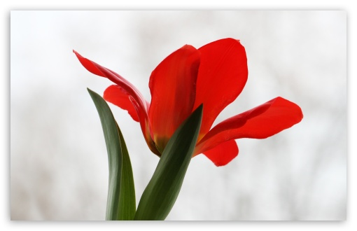 Red Tulip HD wallpaper for Wide 16:10 5:3 Widescreen WHXGA WQXGA WUXGA WXGA WGA ; HD 16:9 High Definition WQHD QWXGA 1080p 900p 720p QHD nHD ; UHD 16:9 WQHD QWXGA 1080p 900p 720p QHD nHD ; Standard 4:3 5:4 3:2 Fullscreen UXGA XGA SVGA QSXGA SXGA DVGA HVGA HQVGA devices ( Apple PowerBook G4 iPhone 4 3G 3GS iPod Touch ) ; Smartphone 5:3 WGA ; Tablet 1:1 ; iPad 1/2/Mini ; Mobile 4:3 5:3 3:2 16:9 5:4 - UXGA XGA SVGA WGA DVGA HVGA HQVGA devices ( Apple PowerBook G4 iPhone 4 3G 3GS iPod Touch ) WQHD QWXGA 1080p 900p 720p QHD nHD QSXGA SXGA ; Dual 5:4 QSXGA SXGA ;