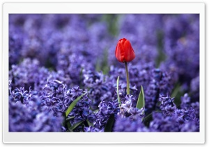 Red Tulip And Hyacinths HD Wide Wallpaper for Widescreen