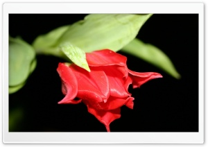 Red Tulip Black Background HD Wide Wallpaper for Widescreen