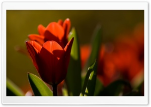 Red Tulip Bokeh HD Wide Wallpaper for Widescreen