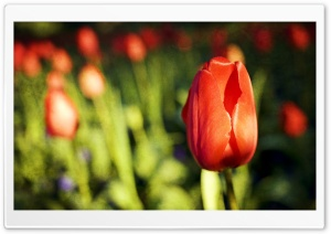 Red Tulip Bud HD Wide Wallpaper for Widescreen