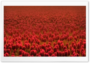 Red Tulip Field HD Wide Wallpaper for Widescreen