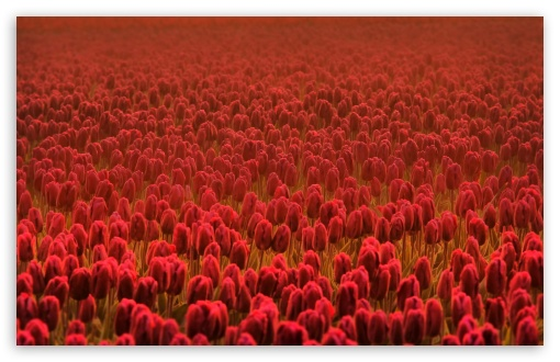 Red Tulip Field HD wallpaper for Wide 16:10 5:3 Widescreen WHXGA WQXGA WUXGA WXGA WGA ; HD 16:9 High Definition WQHD QWXGA 1080p 900p 720p QHD nHD ; Standard 4:3 5:4 3:2 Fullscreen UXGA XGA SVGA QSXGA SXGA DVGA HVGA HQVGA devices ( Apple PowerBook G4 iPhone 4 3G 3GS iPod Touch ) ; Tablet 1:1 ; iPad 1/2/Mini ; Mobile 4:3 5:3 3:2 16:9 5:4 - UXGA XGA SVGA WGA DVGA HVGA HQVGA devices ( Apple PowerBook G4 iPhone 4 3G 3GS iPod Touch ) WQHD QWXGA 1080p 900p 720p QHD nHD QSXGA SXGA ;