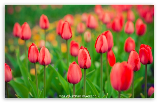 Red Tulips HD wallpaper for Wide 16:10 5:3 Widescreen WHXGA WQXGA WUXGA WXGA WGA ; HD 16:9 High Definition WQHD QWXGA 1080p 900p 720p QHD nHD ; UHD 16:9 WQHD QWXGA 1080p 900p 720p QHD nHD ; Standard 4:3 5:4 3:2 Fullscreen UXGA XGA SVGA QSXGA SXGA DVGA HVGA HQVGA devices ( Apple PowerBook G4 iPhone 4 3G 3GS iPod Touch ) ; Smartphone 5:3 WGA ; Tablet 1:1 ; iPad 1/2/Mini ; Mobile 4:3 5:3 3:2 16:9 5:4 - UXGA XGA SVGA WGA DVGA HVGA HQVGA devices ( Apple PowerBook G4 iPhone 4 3G 3GS iPod Touch ) WQHD QWXGA 1080p 900p 720p QHD nHD QSXGA SXGA ; Dual 4:3 5:4 UXGA XGA SVGA QSXGA SXGA ;