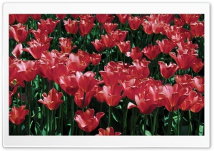 Red Tulips HD Wide Wallpaper for Widescreen