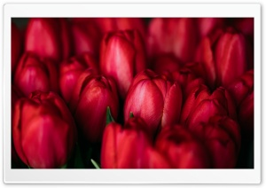 Red Tulips Ultra HD Wallpaper for 4K UHD Widescreen desktop, tablet & smartphone
