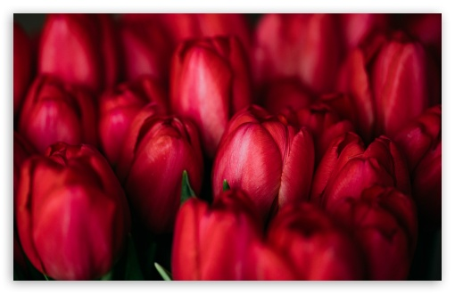Red Tulips ❤ 4K UHD Wallpaper for Wide 16:10 5:3 Widescreen WHXGA WQXGA WUXGA WXGA WGA ; 4K UHD 16:9 Ultra High Definition 2160p 1440p 1080p 900p 720p ; Standard 4:3 5:4 3:2 Fullscreen UXGA XGA SVGA QSXGA SXGA DVGA HVGA HQVGA ( Apple PowerBook G4 iPhone 4 3G 3GS iPod Touch ) ; Smartphone 5:3 WGA ; Tablet 1:1 ; iPad 1/2/Mini ; Mobile 4:3 5:3 3:2 16:9 5:4 - UXGA XGA SVGA WGA DVGA HVGA HQVGA ( Apple PowerBook G4 iPhone 4 3G 3GS iPod Touch ) 2160p 1440p 1080p 900p 720p QSXGA SXGA ;