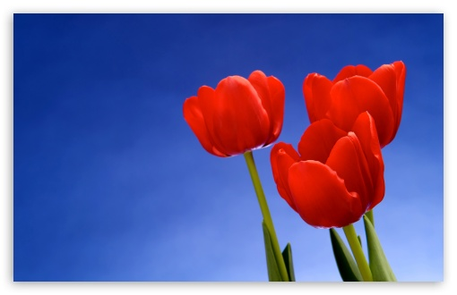 Red Tulips HD wallpaper for Wide 16:10 5:3 Widescreen WHXGA WQXGA WUXGA WXGA WGA ; HD 16:9 High Definition WQHD QWXGA 1080p 900p 720p QHD nHD ; Standard 4:3 5:4 3:2 Fullscreen UXGA XGA SVGA QSXGA SXGA DVGA HVGA HQVGA devices ( Apple PowerBook G4 iPhone 4 3G 3GS iPod Touch ) ; Tablet 1:1 ; iPad 1/2/Mini ; Mobile 4:3 5:3 3:2 16:9 5:4 - UXGA XGA SVGA WGA DVGA HVGA HQVGA devices ( Apple PowerBook G4 iPhone 4 3G 3GS iPod Touch ) WQHD QWXGA 1080p 900p 720p QHD nHD QSXGA SXGA ;