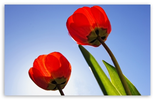 Red Tulips ❤ 4K UHD Wallpaper for Wide 16:10 5:3 Widescreen WHXGA WQXGA WUXGA WXGA WGA ; 4K UHD 16:9 Ultra High Definition 2160p 1440p 1080p 900p 720p ; Standard 4:3 5:4 3:2 Fullscreen UXGA XGA SVGA QSXGA SXGA DVGA HVGA HQVGA ( Apple PowerBook G4 iPhone 4 3G 3GS iPod Touch ) ; Tablet 1:1 ; iPad 1/2/Mini ; Mobile 4:3 5:3 3:2 16:9 5:4 - UXGA XGA SVGA WGA DVGA HVGA HQVGA ( Apple PowerBook G4 iPhone 4 3G 3GS iPod Touch ) 2160p 1440p 1080p 900p 720p QSXGA SXGA ;