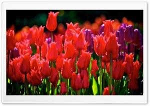 Red Tulips HD Wide Wallpaper for 4K UHD Widescreen desktop & smartphone