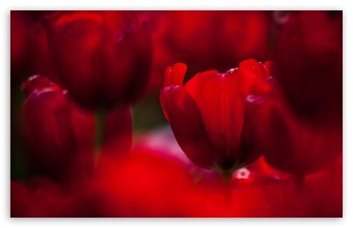 Red Tulips HD wallpaper for Wide 16:10 5:3 Widescreen WHXGA WQXGA WUXGA WXGA WGA ; UltraWide 21:9 24:10 ; HD 16:9 High Definition WQHD QWXGA 1080p 900p 720p QHD nHD ; UHD 16:9 WQHD QWXGA 1080p 900p 720p QHD nHD ; Standard 4:3 5:4 3:2 Fullscreen UXGA XGA SVGA QSXGA SXGA DVGA HVGA HQVGA devices ( Apple PowerBook G4 iPhone 4 3G 3GS iPod Touch ) ; Smartphone 16:9 3:2 5:3 WQHD QWXGA 1080p 900p 720p QHD nHD DVGA HVGA HQVGA devices ( Apple PowerBook G4 iPhone 4 3G 3GS iPod Touch ) WGA ; Tablet 1:1 ; iPad 1/2/Mini ; Mobile 4:3 5:3 3:2 16:9 5:4 - UXGA XGA SVGA WGA DVGA HVGA HQVGA devices ( Apple PowerBook G4 iPhone 4 3G 3GS iPod Touch ) WQHD QWXGA 1080p 900p 720p QHD nHD QSXGA SXGA ;