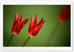 Red Tulips Against A Green Background HD Wide Wallpaper for Widescreen