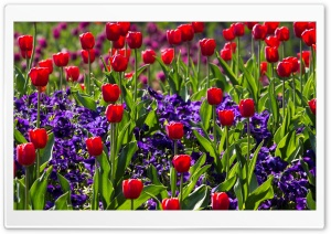 Red Tulips and Irises HD Wide Wallpaper for Widescreen