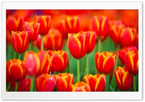 Red Tulips Culture HD Wide Wallpaper for Widescreen