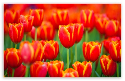Red Tulips Culture ❤ 4K UHD Wallpaper for Wide 16:10 5:3 Widescreen WHXGA WQXGA WUXGA WXGA WGA ; 4K UHD 16:9 Ultra High Definition 2160p 1440p 1080p 900p 720p ; UHD 16:9 2160p 1440p 1080p 900p 720p ; Standard 4:3 5:4 3:2 Fullscreen UXGA XGA SVGA QSXGA SXGA DVGA HVGA HQVGA ( Apple PowerBook G4 iPhone 4 3G 3GS iPod Touch ) ; Tablet 1:1 ; iPad 1/2/Mini ; Mobile 4:3 5:3 3:2 16:9 5:4 - UXGA XGA SVGA WGA DVGA HVGA HQVGA ( Apple PowerBook G4 iPhone 4 3G 3GS iPod Touch ) 2160p 1440p 1080p 900p 720p QSXGA SXGA ;