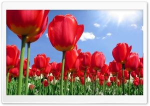 Red Tulips Field HD Wide Wallpaper for 4K UHD Widescreen desktop & smartphone