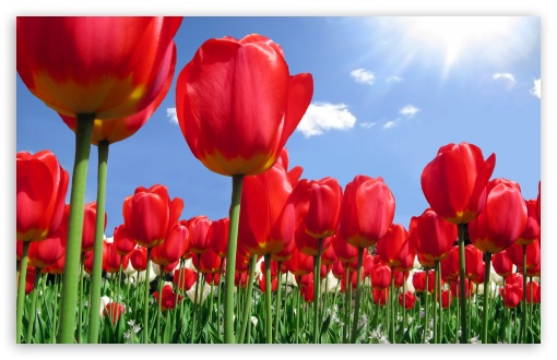 Red Tulips Field HD wallpaper for Wide 16:10 5:3 Widescreen WHXGA WQXGA WUXGA WXGA WGA ; HD 16:9 High Definition WQHD QWXGA 1080p 900p 720p QHD nHD ; Standard 4:3 5:4 3:2 Fullscreen UXGA XGA SVGA QSXGA SXGA DVGA HVGA HQVGA devices ( Apple PowerBook G4 iPhone 4 3G 3GS iPod Touch ) ; Tablet 1:1 ; iPad 1/2/Mini ; Mobile 4:3 5:3 3:2 16:9 5:4 - UXGA XGA SVGA WGA DVGA HVGA HQVGA devices ( Apple PowerBook G4 iPhone 4 3G 3GS iPod Touch ) WQHD QWXGA 1080p 900p 720p QHD nHD QSXGA SXGA ;