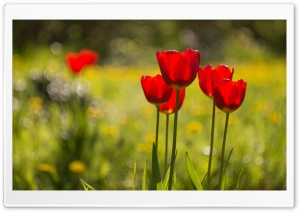 Red Tulips Flowers, Nature HD Wide Wallpaper for Widescreen