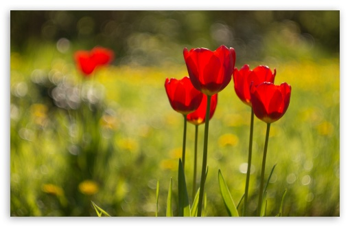 Red Tulips Flowers, Nature ❤ 4K UHD Wallpaper for Wide 16:10 5:3 Widescreen WHXGA WQXGA WUXGA WXGA WGA ; 4K UHD 16:9 Ultra High Definition 2160p 1440p 1080p 900p 720p ; Standard 4:3 5:4 3:2 Fullscreen UXGA XGA SVGA QSXGA SXGA DVGA HVGA HQVGA ( Apple PowerBook G4 iPhone 4 3G 3GS iPod Touch ) ; Smartphone 16:9 3:2 5:3 2160p 1440p 1080p 900p 720p DVGA HVGA HQVGA ( Apple PowerBook G4 iPhone 4 3G 3GS iPod Touch ) WGA ; Tablet 1:1 ; iPad 1/2/Mini ; Mobile 4:3 5:3 3:2 16:9 5:4 - UXGA XGA SVGA WGA DVGA HVGA HQVGA ( Apple PowerBook G4 iPhone 4 3G 3GS iPod Touch ) 2160p 1440p 1080p 900p 720p QSXGA SXGA ;
