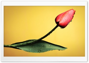 Red Tulips, Yellow Background HD Wide Wallpaper for Widescreen