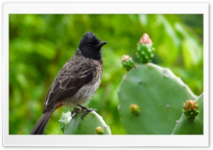 Red-Vented Bulbul Bird HD Wide Wallpaper for Widescreen