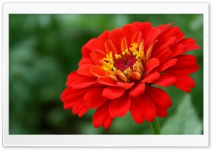 Red Zinnia Flower HD Wide Wallpaper for Widescreen