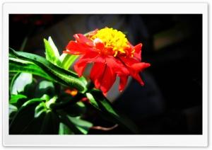 RedFlowers HD Wide Wallpaper for Widescreen