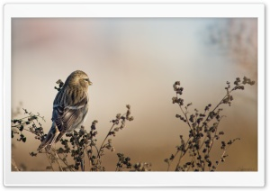 Redpoll HD Wide Wallpaper for Widescreen
