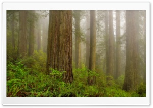Redwood National Park HD Wide Wallpaper for Widescreen