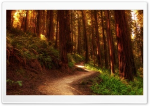Redwood Trees HD Wide Wallpaper for Widescreen