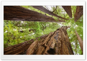 Redwoods HD Wide Wallpaper for Widescreen