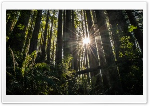Redwoods HD Wide Wallpaper for 4K UHD Widescreen desktop & smartphone