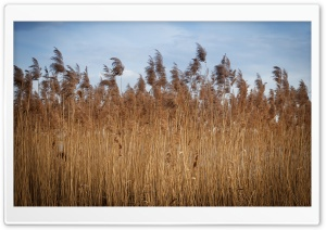 Reed HD Wide Wallpaper for 4K UHD Widescreen desktop & smartphone