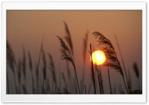 Reed Silhouette at Sunset HD Wide Wallpaper for Widescreen
