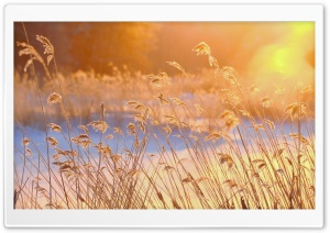 Reeds In The Morning Sun HD Wide Wallpaper for Widescreen