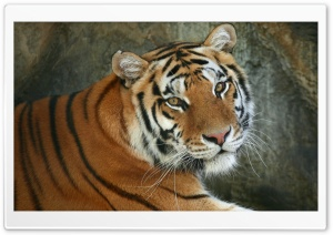 Regal Bengal Tiger HD Wide Wallpaper for Widescreen