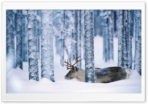 Reindeer Svansele Vsterbotten Sweden HD Wide Wallpaper for Widescreen